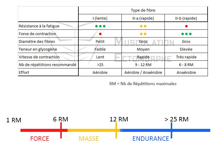 comparaison type fibre lente rapide musculation force masse endurance