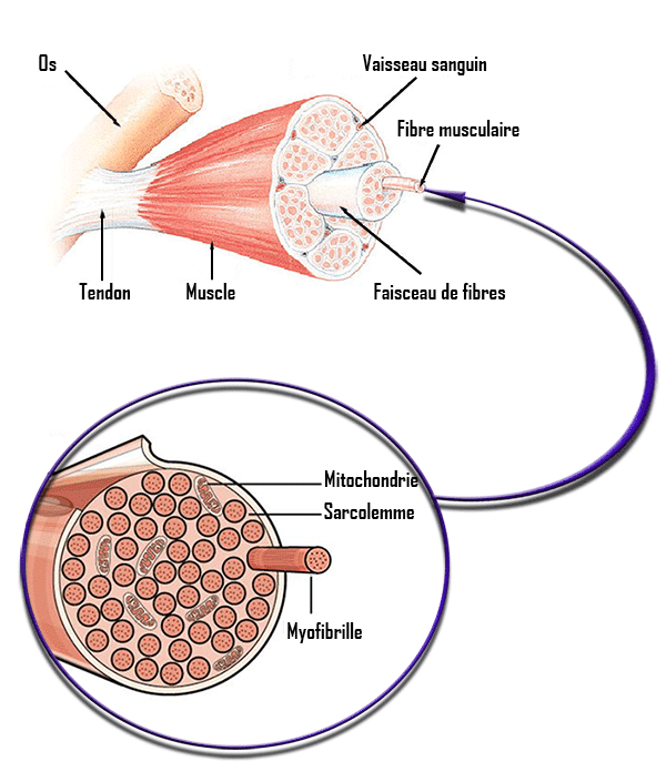 composition muscle fibre musculaire myofibrille