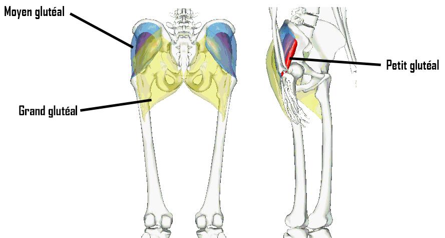 anatomie jambes muscles fessiers petit moyen grand glutéal