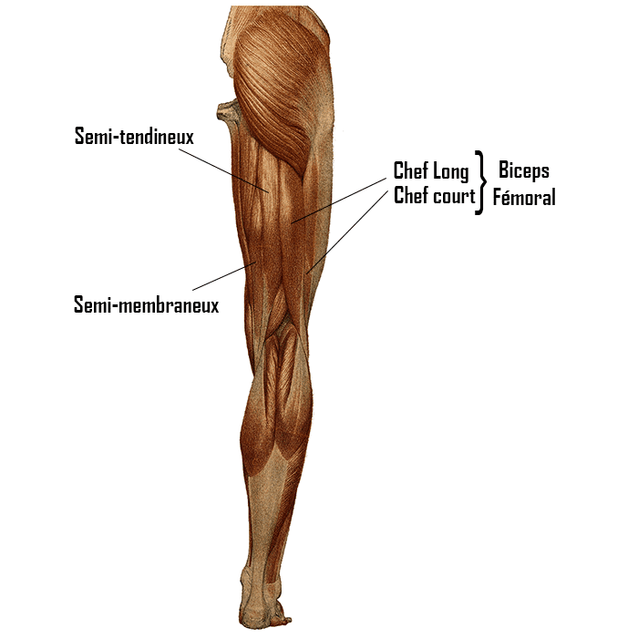 anatomie muscle jambe ischio jambier biceps fémoral