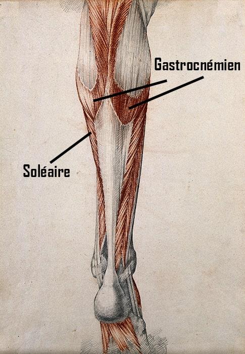 anatomie muscle jambe mollet soléaire gastrocnémien médial latéral