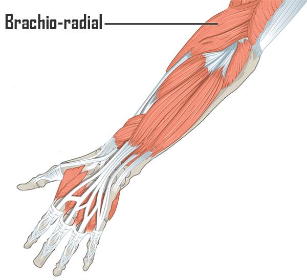 muscle avant-bras brachio-radial