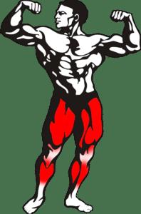 échauffement musculation jambes quadriceps ischio jambier mollets