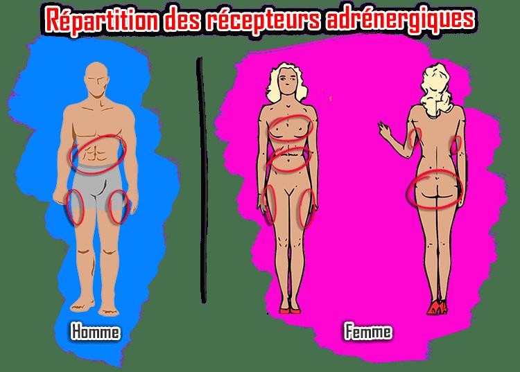 répartition récepteurs adrénergiques graisse homme poignées d'amour femme cuisses seins