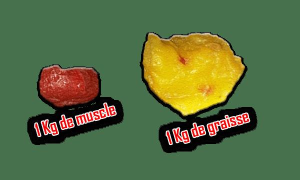 comparaison graisse muscle