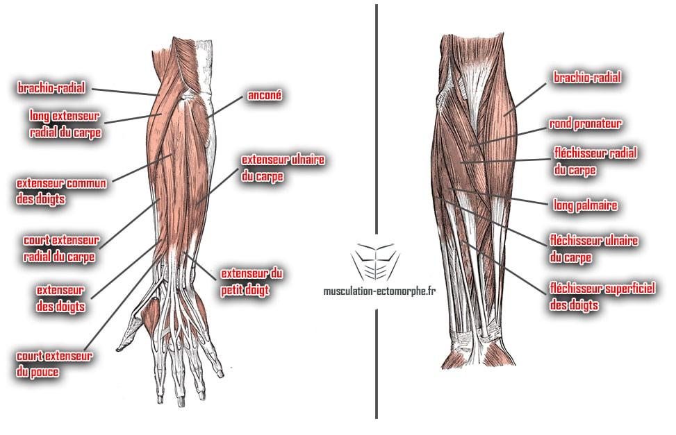 anatomie muscles avant-bras