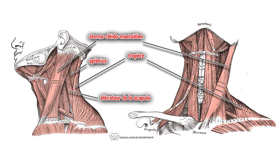 anatomie muscles du cou