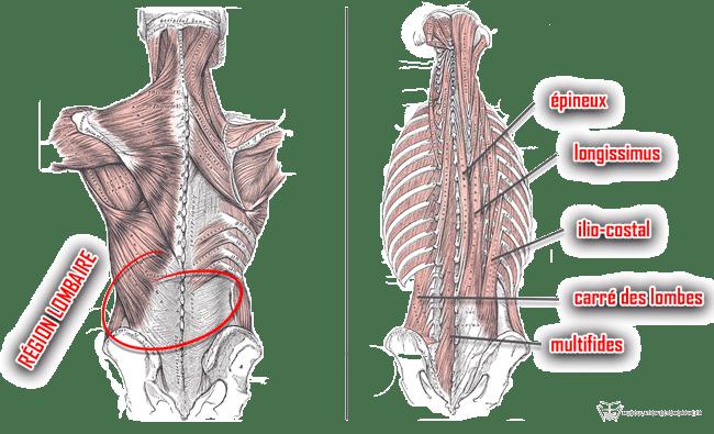 muscles bas du dos anatomie